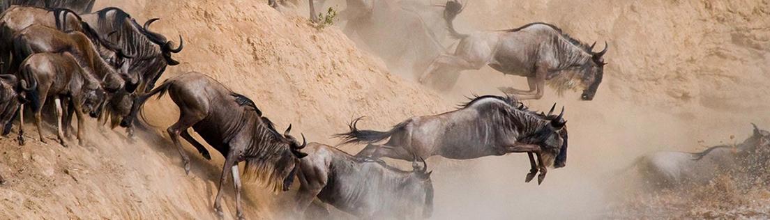 Serengeti wildbeest migration