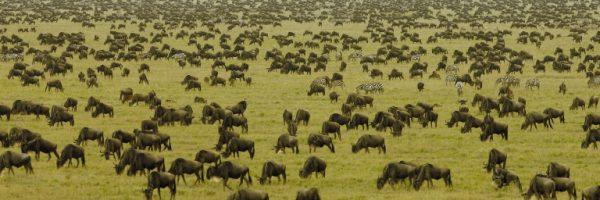 Serengeti Wildebest migration